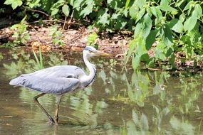 gray heron walks on lake water