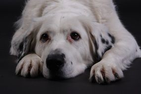 portrait of a white dog lying on a black surface