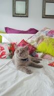 british shorthair cat on a bed