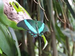 turquoise black butterfly in wildlife
