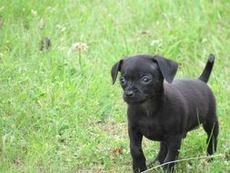black chihuahua puppy on green grass