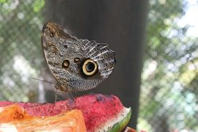 Butterfly on the watermelon