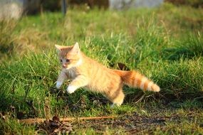 jumping playful red kitten