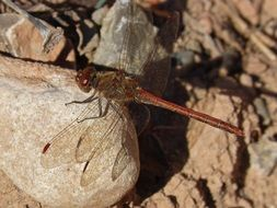 red dragonfly on the stone