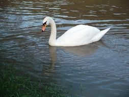 a white swan with a graceful neck in a pond