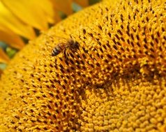 small bee on a sunflower