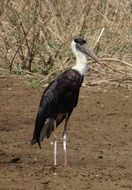woolly necked stork in wildlife