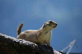 black tailed prairie dog in nature