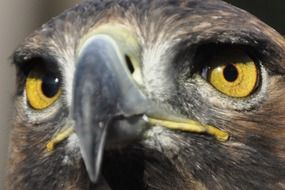 Bird of prey with yellow eyes