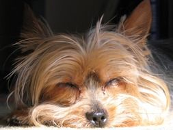 Yorkshire Terrier Doggy