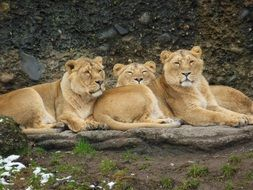 three lionesses resting