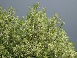 blooming bird cherry under a stormy sky