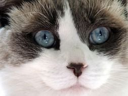 Cute Cat with Blue eyes close portrait