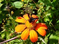 busy bumblebee on the orange flower