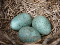 blue eggs with spots in a bird\'s nest