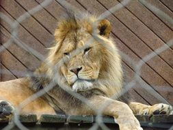 encaged majestic lion