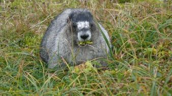 grey marmot in grass