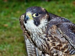 Peregrine Falcon closeup portrait