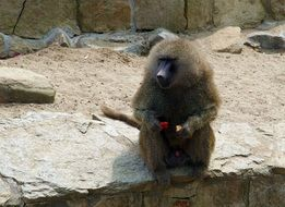 Baboon in the zoological garden