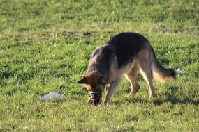 German shepherd in a muzzle on the meadow
