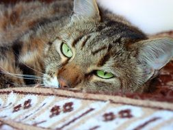 tabby Cat with green eyes lays down, head close up