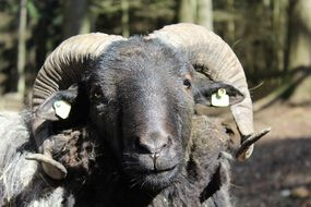 portrait of a sheep with horns on a sunny day