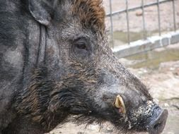 muzzle of a wild boar in profile