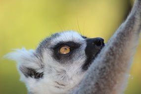 Lemur Wild Animal close portrait