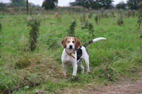 beagle is a hunting dog breed