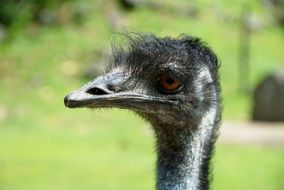 head of a black ostrich on a green background