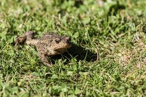 common toad on green grass