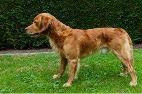 young golden retriever in profile
