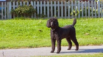 black poodle on a sunny day