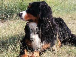 resting bernese mountain dog