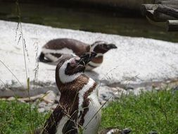 cute black and white penguin at the zoo
