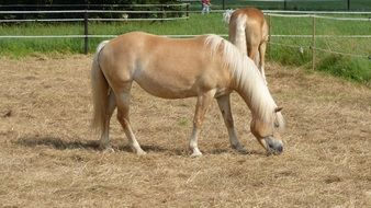 beautiful Haflinger Horse