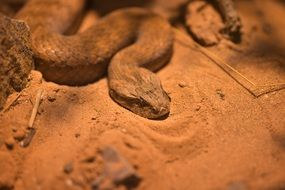 attractive Acanthophis Snake
