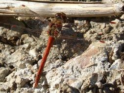 red dragonfly on ground