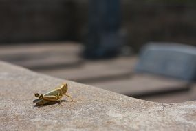 grasshopper on the stone surface