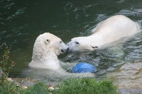 polar bears are playing in the water