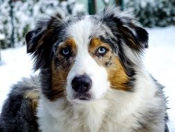 australian shepherd in winter
