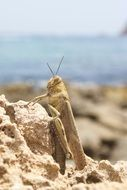 Locust on the beach in Spain
