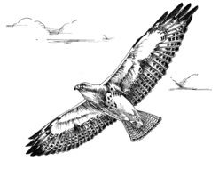 Flight Bird drawing