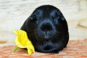 black guinea pig and yellow flower