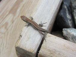 tiny brown lizard