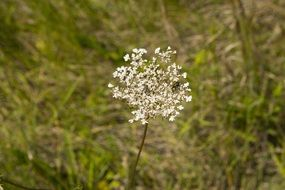 flowering white plant in a summer meadow