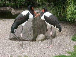 couple of saddle storks