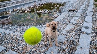 playful dog with tennis ball