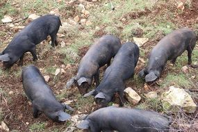 grazing brown pigs