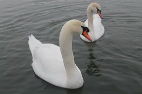 couple of graceful white swans